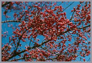 Prairie Radiance 174 Winterberry Euonymus Euonymus